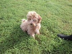 Achille, chien Caniche