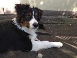 Achille , chien Berger australien