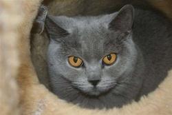 Achylle, chat Chartreux