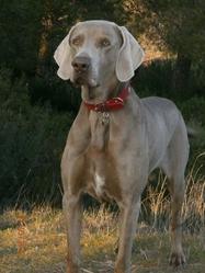 Actarus, chien Braque de Weimar