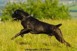 Bud, chien Cane Corso
