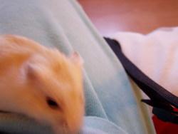 Cristale Morte, rongeur Hamster