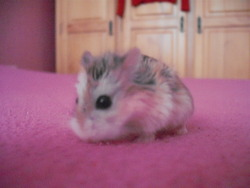 Mimi, rongeur Hamster