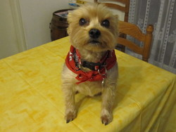 Lily, chien Yorkshire Terrier