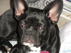 Evy, chien Bouledogue français