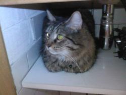 Kirô, chat Maine Coon