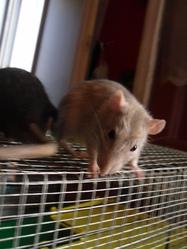 Paul, rongeur Rat
