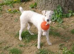 Eden, chien Parson Russell Terrier