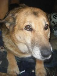 Mendy, chien Berger allemand