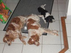 Orane, chien Épagneul breton