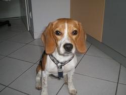 Twix, chien Beagle
