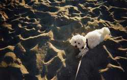 Fladjy, chien Bichon maltais