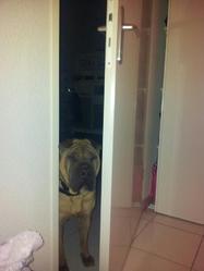 Adam, chien Shar Pei