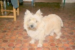 Gabana, chien Cairn Terrier