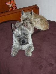 Diablo, chien Cairn Terrier