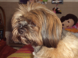 Beyonce, chien Lhassa Apso
