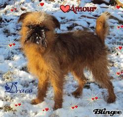 Draco, chien Griffon bruxellois