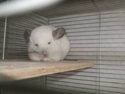 Bianca, rongeur Chinchilla