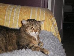 Adele, chat Gouttière