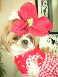 Adélie, chien Shih Tzu