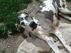 Adelie, chien Dogue allemand