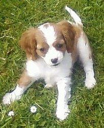 Adèlle, chien Cavalier King Charles Spaniel