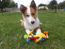 Grimm, chien Berger d'Islande