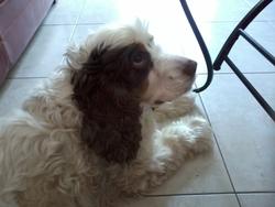 Adiba, chien Cocker anglais