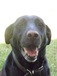 Adja, chien Labrador Retriever