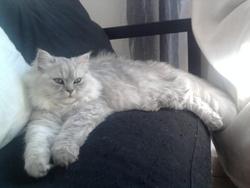 Adonis, chat Persan
