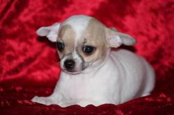 Adorable Joli Chiots Chihuahua, chiot Chihuahua