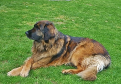 Adria, chien Leonberger