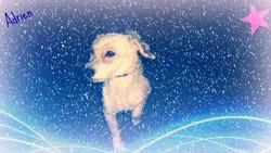Adrien, chien Bichon à poil frisé