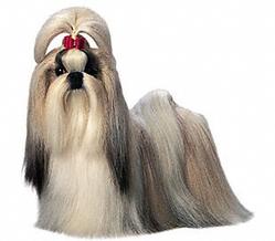 Mouétasse, chien Shih Tzu