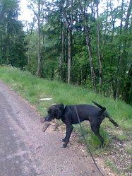 Gamin, chien Griffon à poil dur Korthals