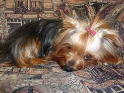 Yoshi, chien Yorkshire Terrier