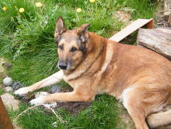 Doggy, chien Berger belge