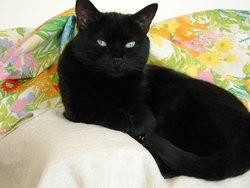 Lola Decedee, chat Européen