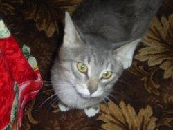 Vassilii, chat Bleu russe