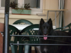 Draco, chien Berger belge
