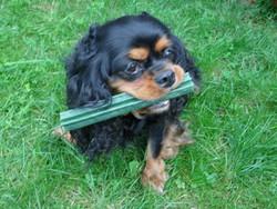 Aeone, chien Cavalier King Charles Spaniel