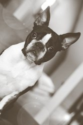 Candy Of Fast Spirit, chien Terrier de Boston