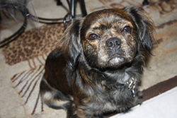 Rocky, chien Bouledogue français