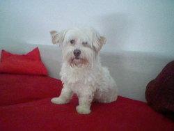 Nathis, chien Coton de Tuléar