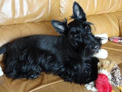 Funny Girl, chien Scottish Terrier