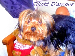 Elliott, chien Yorkshire Terrier