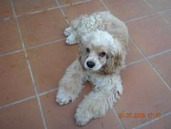 Cellia, chien Cocker américain