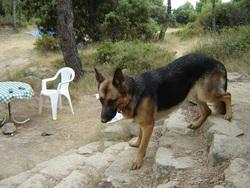 Tomie, chien Berger allemand