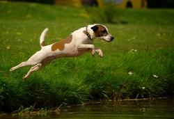 Pequenio , chien Jack Russell Terrier