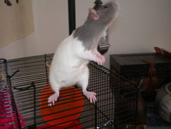 Mouchy, rongeur Rat